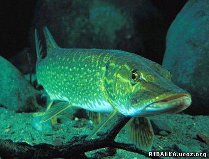 хищные рыбы фото