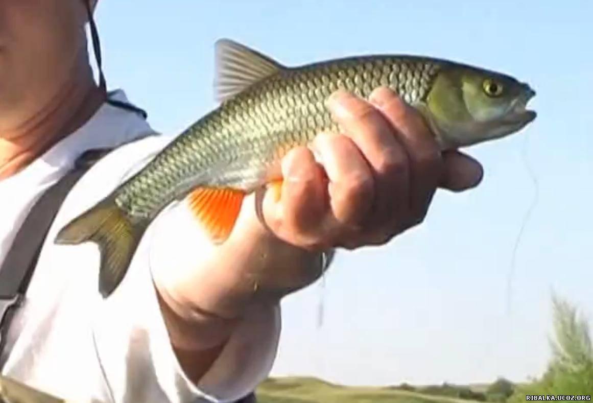 какую рыбу можно поймать нахлыстом