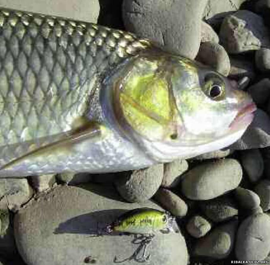 ультролайтовая рыбалка голавль