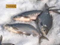 Рыбачьте с нами февраль 2012 (cинец на Рыбинском)