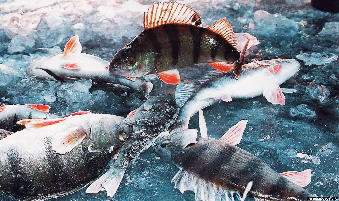 Окуни на зимней рыбалке